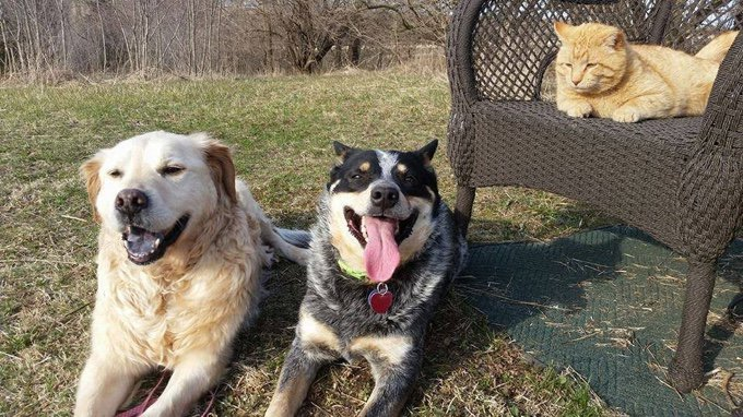 truman chien golden retriever famille