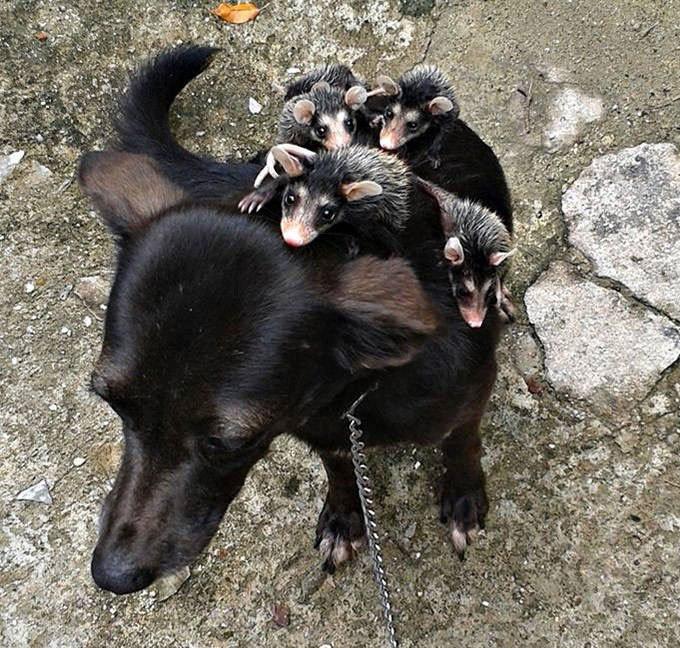 Chien bébé opposums