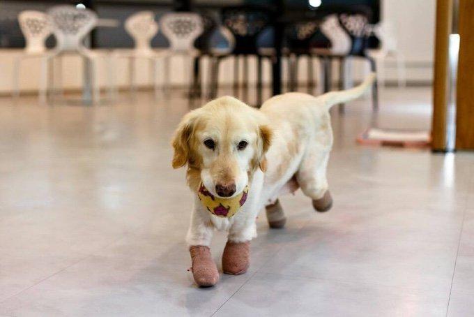 chien sans pattes labrador