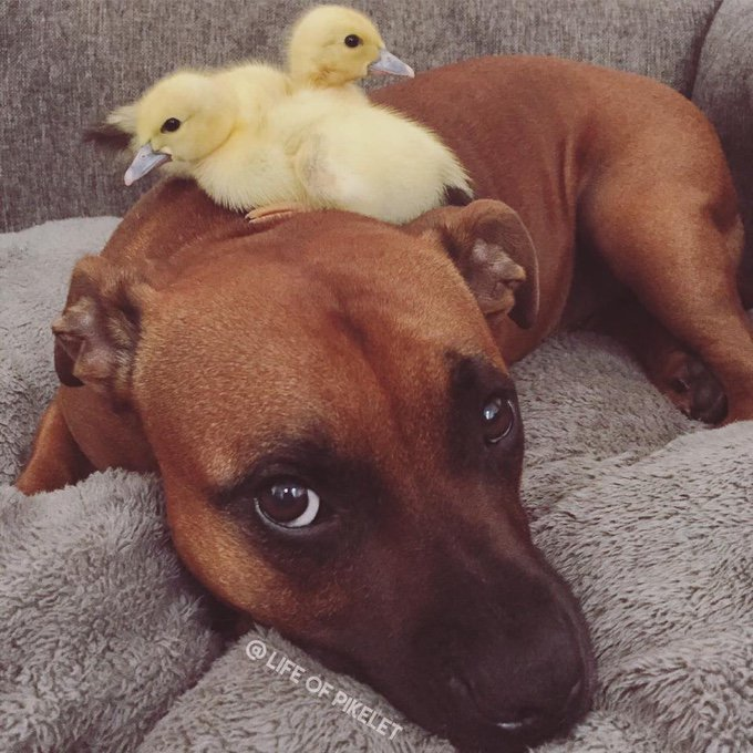 canards chiens amitié