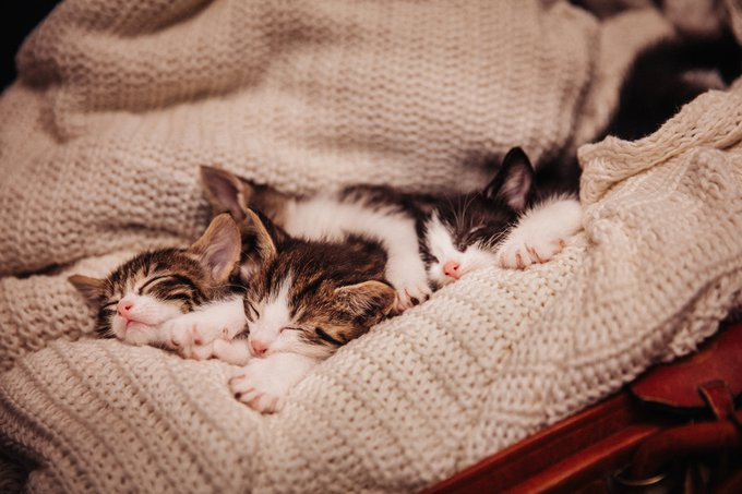 portée de chatons tabby