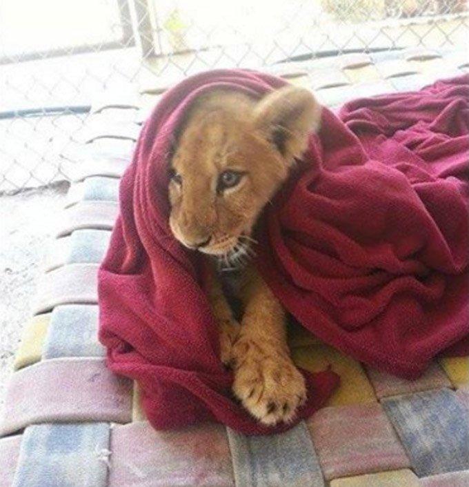 lion_sleeps_with_blanket_2_03_2016