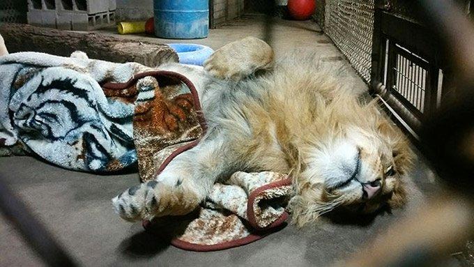 lion_sleeps_with_blanket_5_03_2016