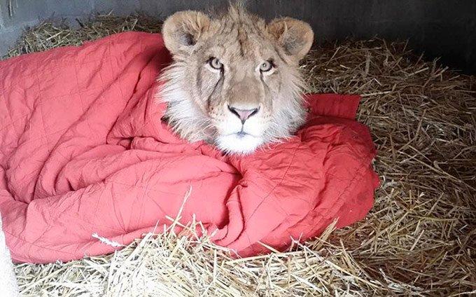 lion_sleeps_with_blanket_6_03_2016