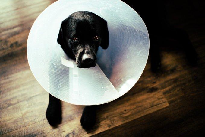 chien collerette labrador noir