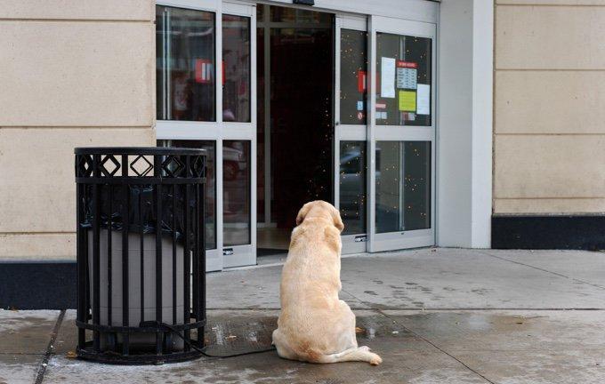 chien labrador seul magasin