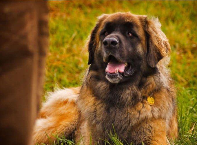 chien de leonberg allongé dans l'herbe