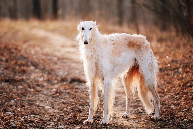Le Barzoï fait partie des chiens les plus grands.