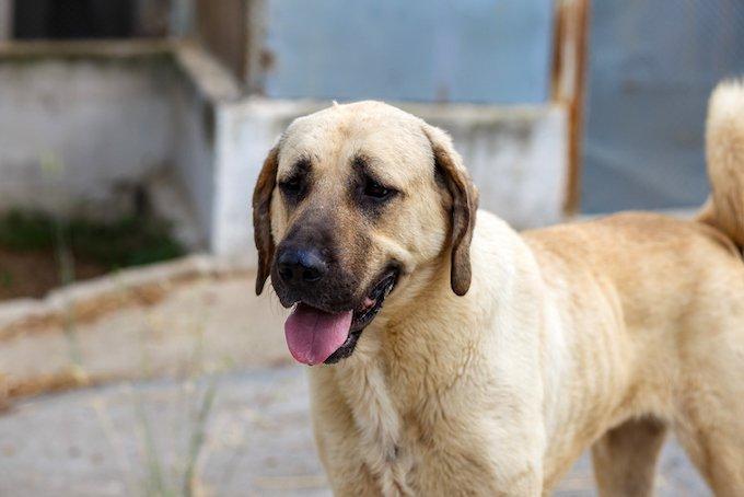 Les 10 races de chiens les plus grands : le Berger d'Anatolie ou Kangal.