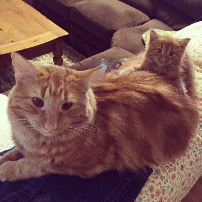 chat chaton roux