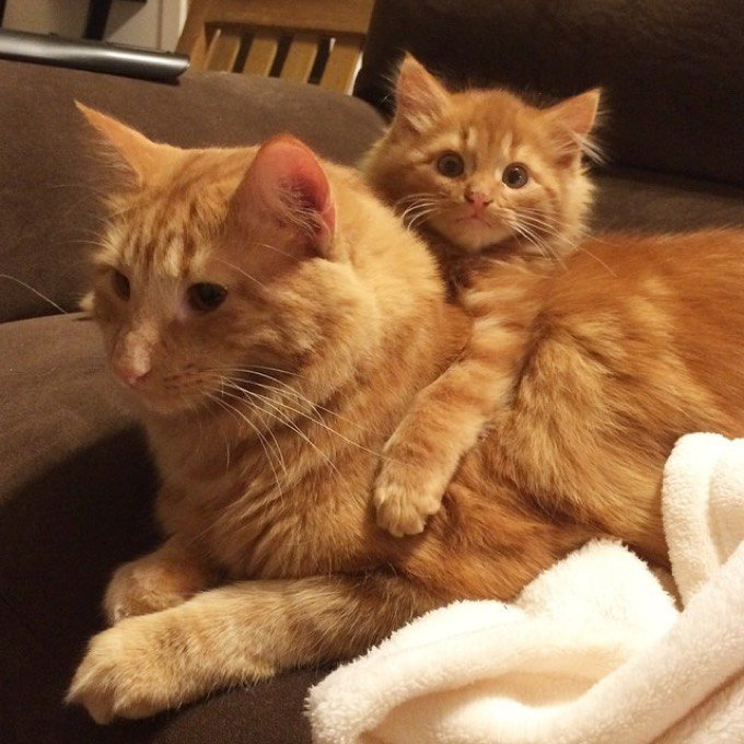 chats roux sosie chaton