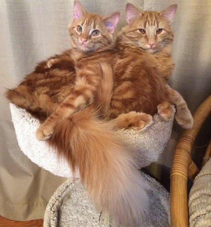 chats roux sosie arbre à chat