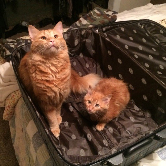chats roux sosie valise