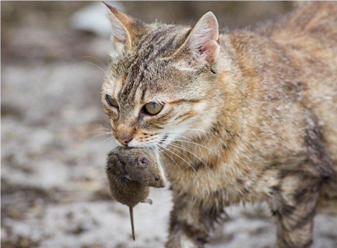 chat avec une souris dans la gueule