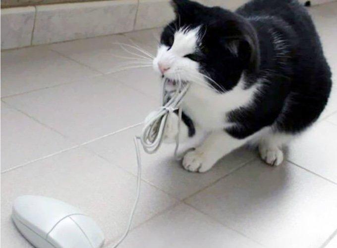chat avec une souris d'ordinateur dans la gueule