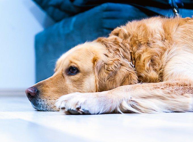 labrador allongé sur le sol
