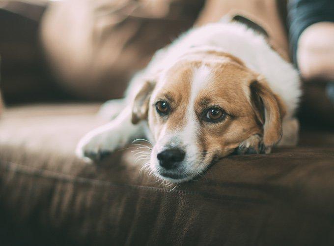 chien allongé dans un canapé