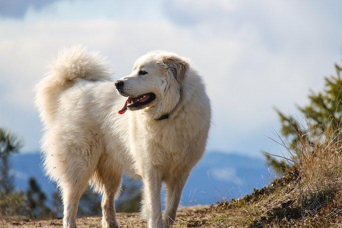 Les races de chiens les plus grands : le chien de montagne des Pyrénées ou Patou.