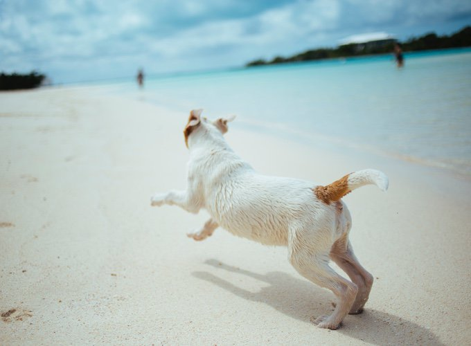chien jack russel qui court sur la plage