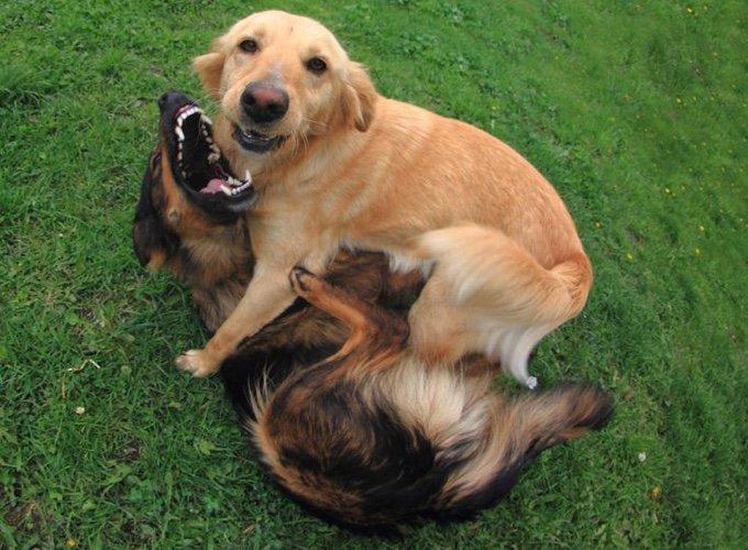 deux chiens jouant dans l'herbe