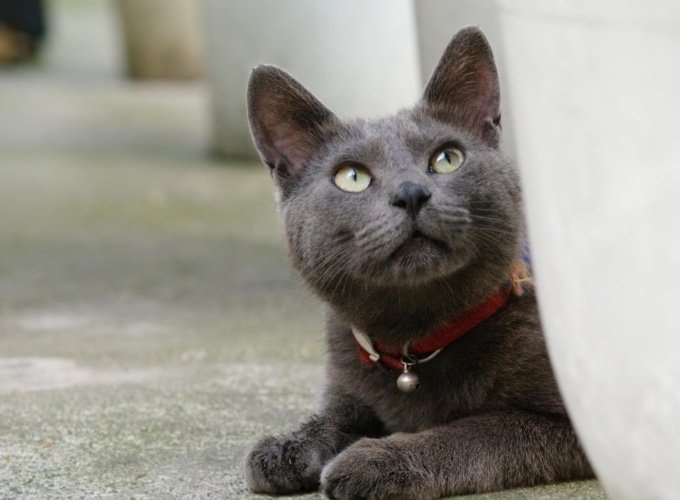 korat, race de chat petit