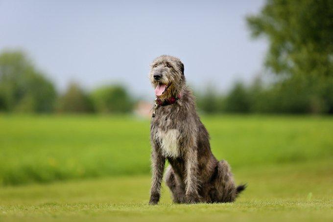 Les 10 races de chiens les plus grands : le Lévrier irlandais.