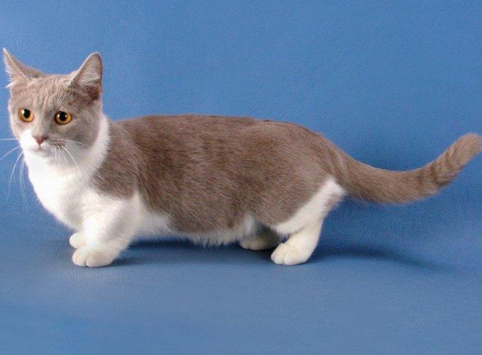 munchkin, race de chat petit