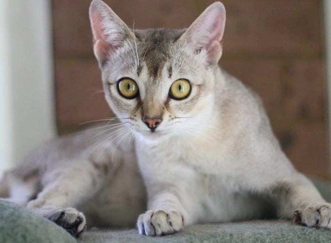 singapura, race de chat petit