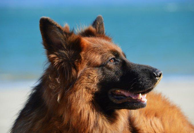 berger allemand sur la plage