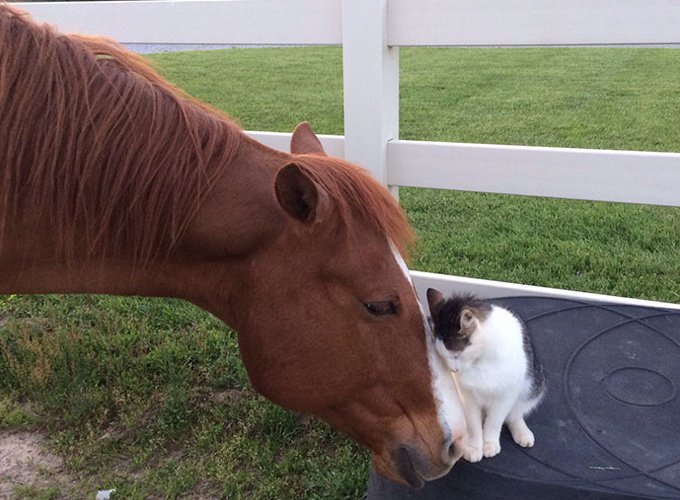 cheval qui caresse un chat