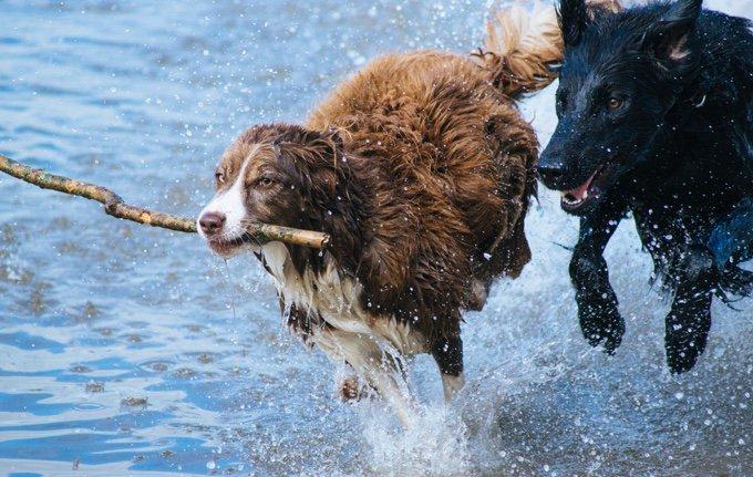 deux chiens qui jouent dans l'eau avec un bâton