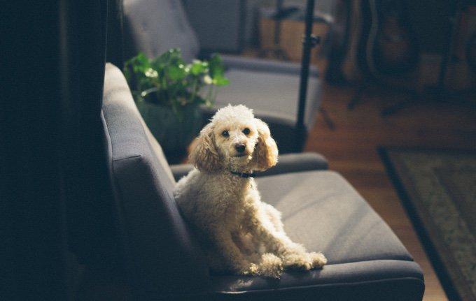 chien qui attend sagement dans un fauteuil