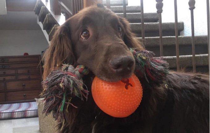 Un chien avec des jouets dans la gueule.
