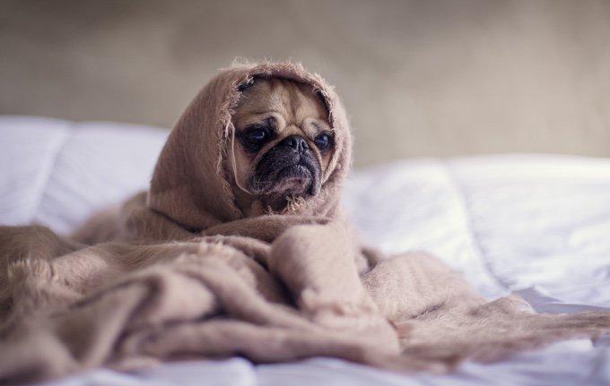 chien triste sous une couverture sur le lit