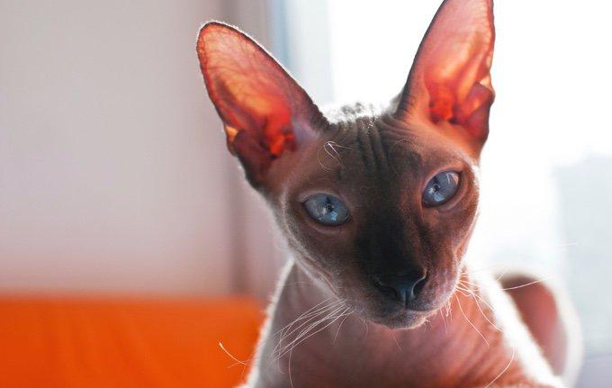 Jolie chatte sans poils