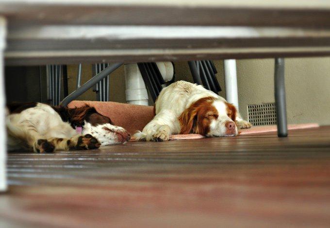 deux épagneuls bretons allongés sur du parquet