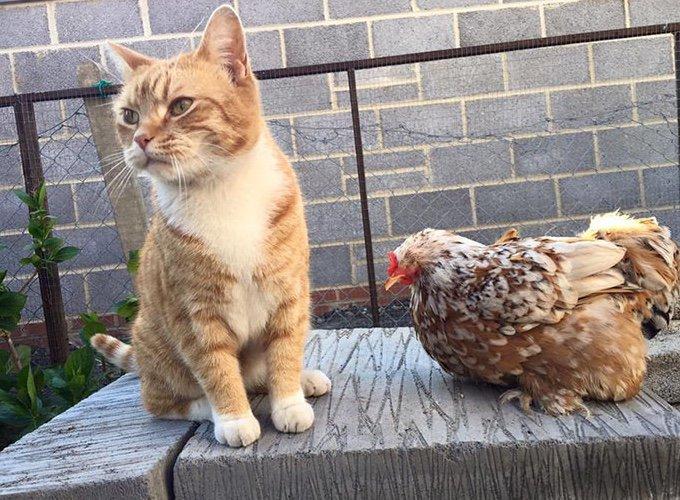 poule avec un chat