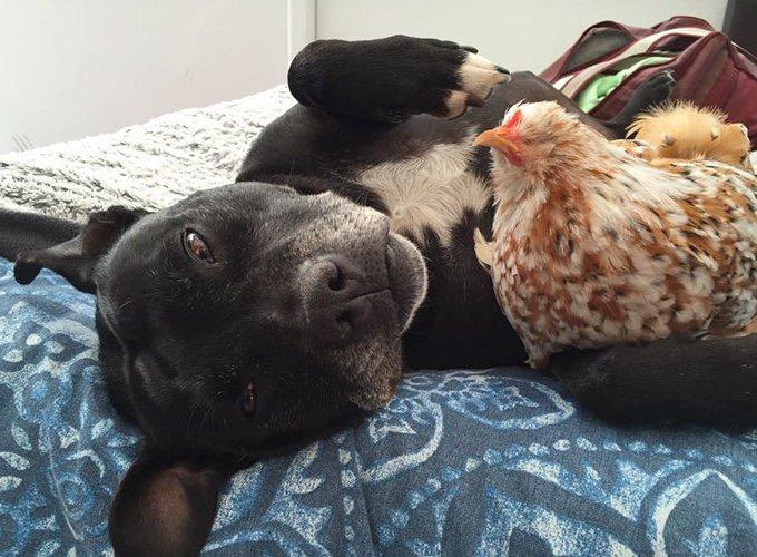poule avec un chien