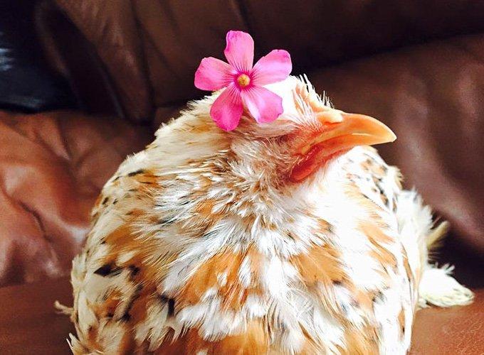 poule avec une fleur sur la tête