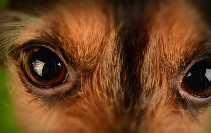 photo macro regard chien