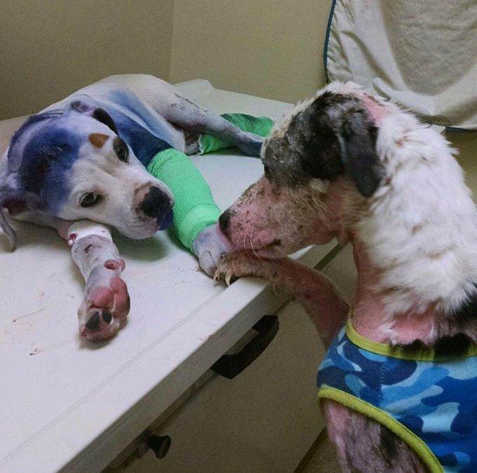 deux chiens blessés