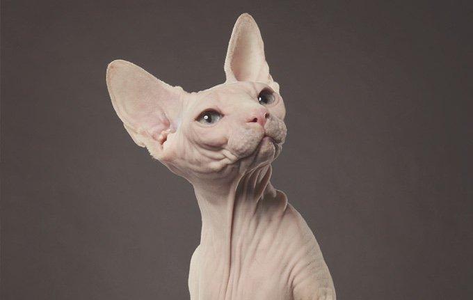 photo d'un chat sphynx