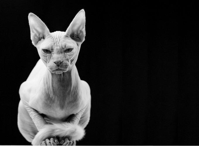 Les 3 races de chats sans poils