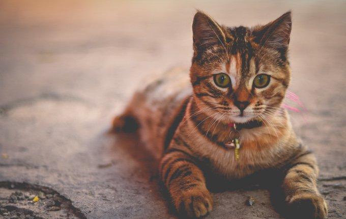 chat allongé avec un collier le 14 juillet