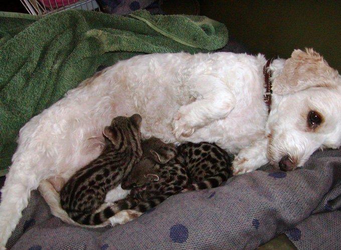 amour maternel entre un chien et trois genettes