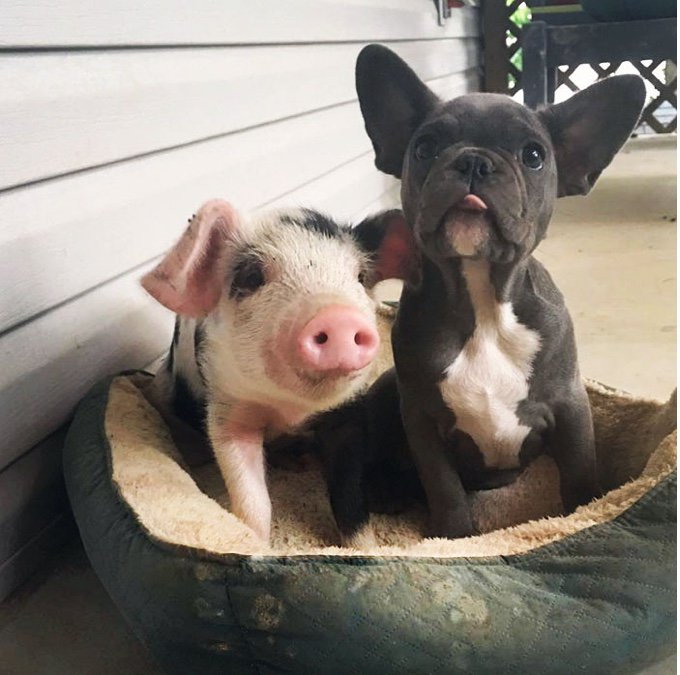 keeva le chiot et peanut le cochon