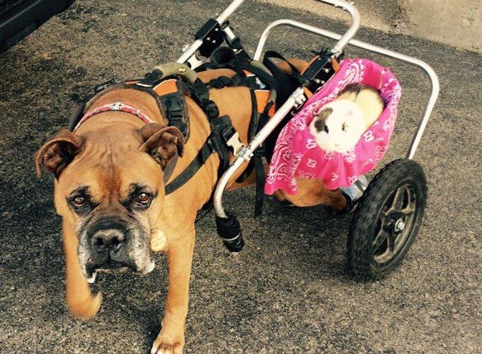 un chien en fauteuil roulant et son cochon dinde en side car