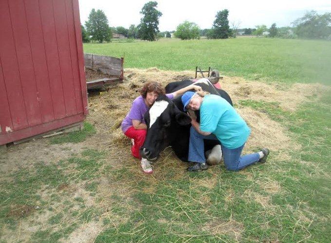 vache qui se fait câliner par deux personnes