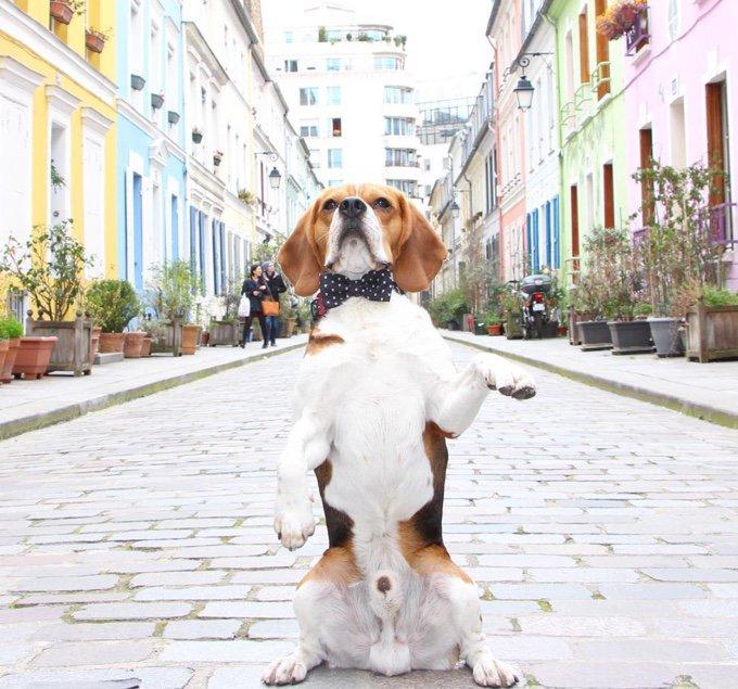 chien MJ beagle noeud papillon