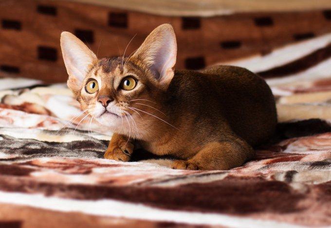 TOP 10 des races de chats qui s'entendent bien avec les chiens : l'Abyssin